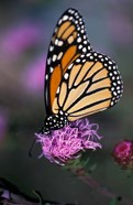 Monarch Butterfly on Northern Blazing Star Flower, New Hampshire
