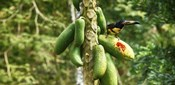 Toucan Bird Feeding on Papaya Tree, Costa Rica
