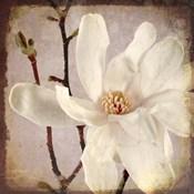 Paper Magnolia Closeup