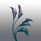Ombre Calla Lilies X-Ray