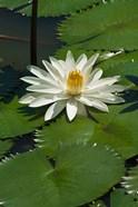 Fiji, Water lily flower