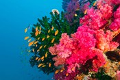 Multicolor Soft Corals, Coral Reef, Bligh Water Area, Viti Levu, Fiji Islands