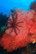 Pristine Gorgonian Sea Fans marine life, Fiji