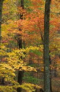 Oak-Hickory Forest in Litchfield Hills, Connecticut
