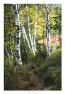 Birch Path III