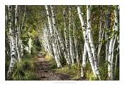 A Walk Through the Birch Trees