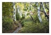 Birch Trees & Tall Grass