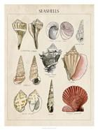 Seashell Sketch II