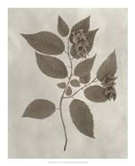 Arbor Specimen II