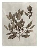 Arbor Specimen IV