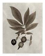 Arbor Specimen VI