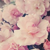 Pink Blossoms I