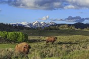 Bison With Mountains (YNP)