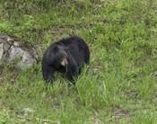 Black Bear (YNP)