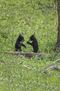 Black Bear Cubs (YNP)
