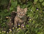 Bobcat Kitten In Wildflowers
