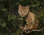Bobcat Kitten On Branch