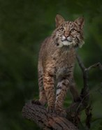 Bobcat Poses On Tree Branch 1