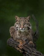 Bobcat Poses On Tree Branch 2