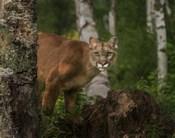 Inquistive Mountain Lion