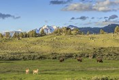Lamar Valley - Pronghorn And Bison