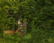 Mountain Lion Lurks In Bush