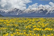 Wild Flowers With Mountains (YNP)