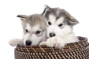 Puppies 16