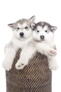 Puppies 18