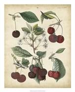 Calwer Common Cherry