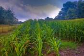 corn in the morning