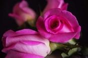 Attache Roses