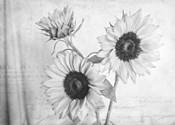 Sunflowers2 BW