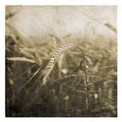 Wheat Fields Mate