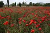 Tuscan Poppies 1