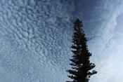 Lone Cedar Sky
