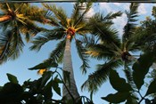 Looking Up Palms 006
