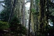 Mt. Rainier Forest