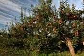 Apple Orchard Streaked Sky