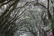 Spainish Moss Live Oak Arch