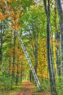 Birch Over The Trail