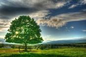 Blue Chip Sunset Tree