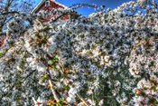 Cherry Blossom Barn
