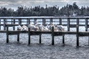 White Pelicans And Piers