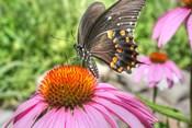 Butterfly 18 Spicebush