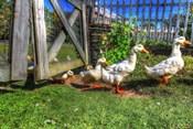 Ducks Escapiing