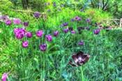 Garden Purple Tulips