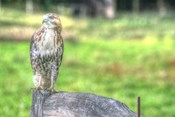 Hawk And Fence