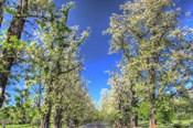 Roadside Tree Blossoms