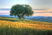 Tuscan Tree Pink Sunset